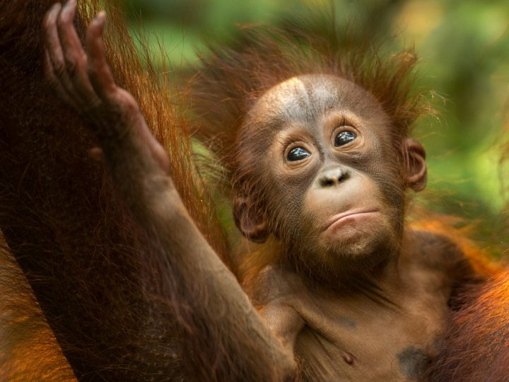 Sumatra Cheeky Monkeys; the ethical choice in trekking with orangutans