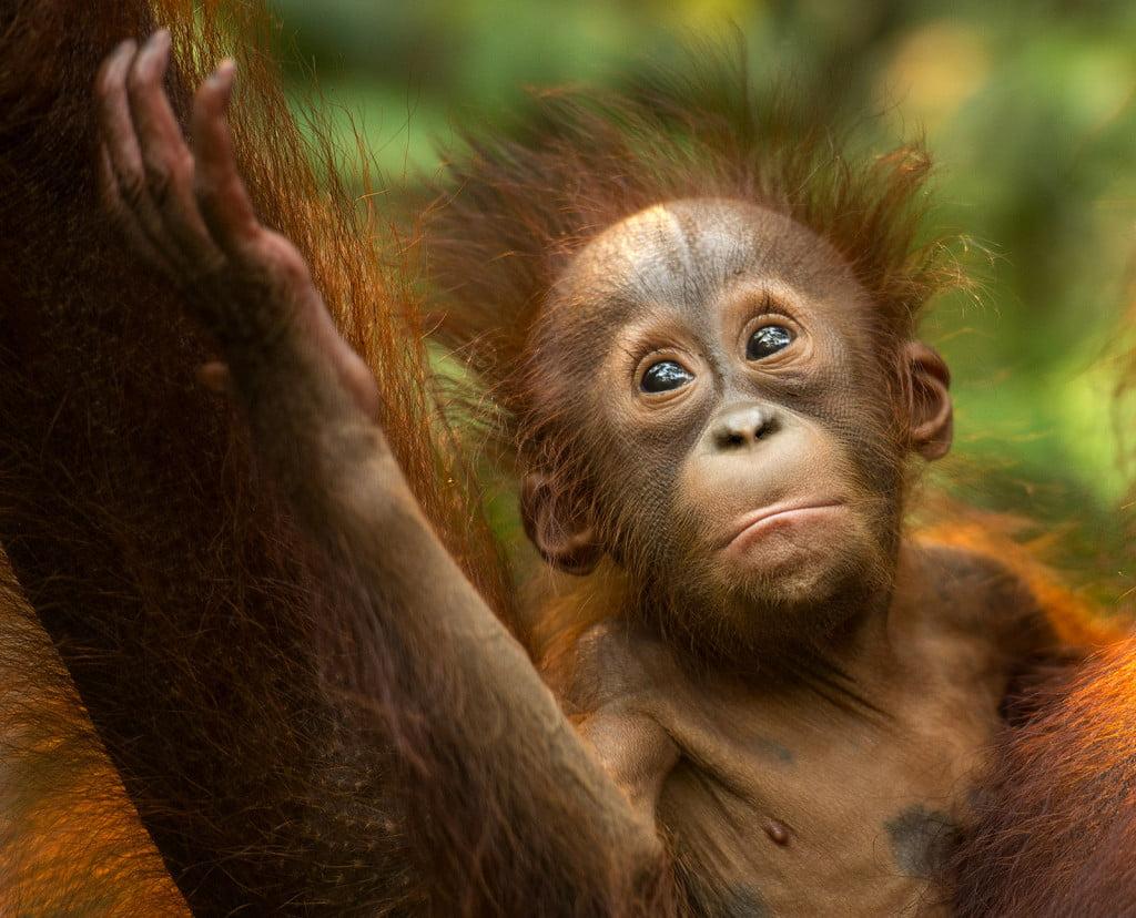 Sumatra Cheeky Monkeys; the ethical choice in trekking with orangutans